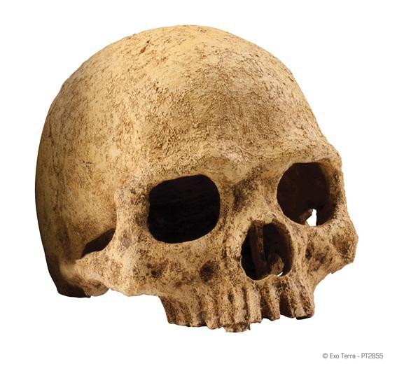 EXO TERRA - czaszka ludzka do terrarium