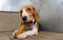 ROGY CHURPI naturalny gryzak dla psa z himalajskiego twardego sera