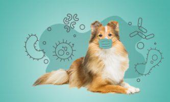 koronawirus u psów, zwierząt domowych