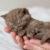 brytyjczyk brytyjski krótkowłosy kot brytyjski british shorthair kot sfinks sphynx choroby u kotów