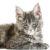 kot maine coon kot sfinks sphynx choroby u kotów
