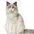 kot ragdoll ragamuffin kot sfinks sphynx choroby u kotów