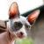 kot sfinks sphynx choroby u kotów