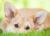 psie uszy