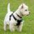 West highland white terrier wygląd
