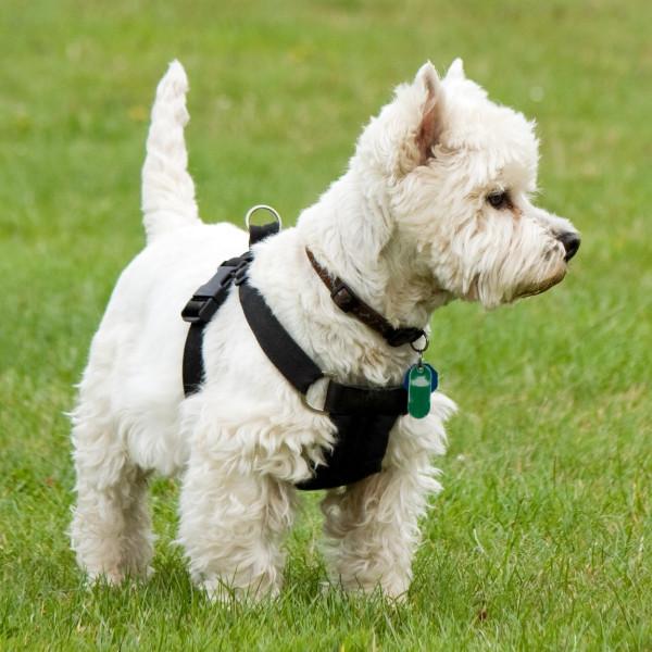 West Highland White Terrier Charakter Wychowanie Co To Za Rasa