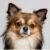 chihuahua najmniejszy pies na świecie