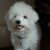 pies rasy bolończyk