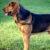 Bloodhound (pies świętego Huberta)