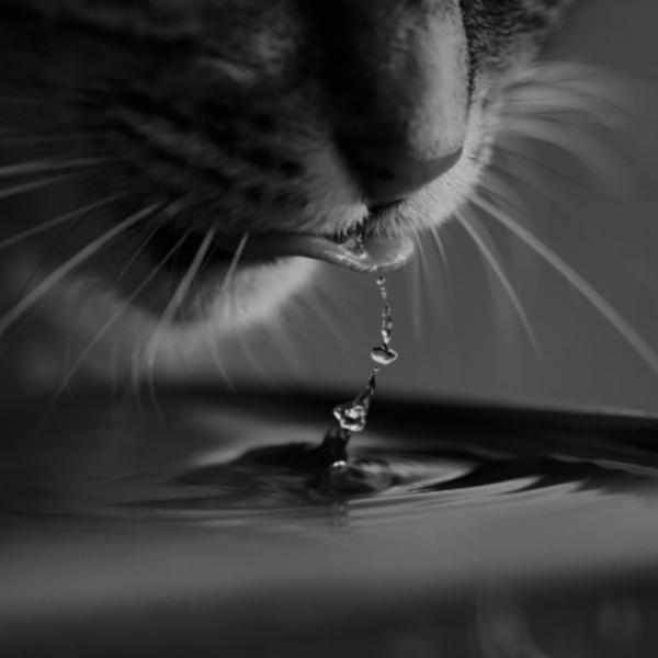 kot pije wodę