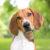 pies rasy foxhound amerykański